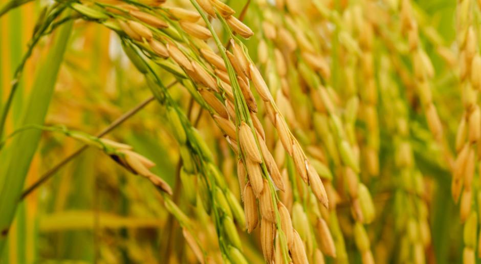 Gorące noce zaburzają rozwój ryżu