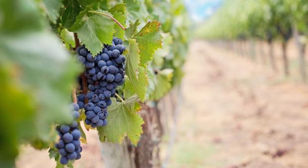 Małopolskie: turyści będą zwiedzać winnice
