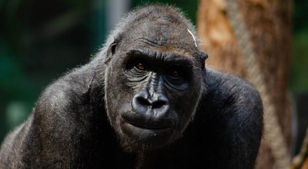 USA: Ogrody zoologiczne zaszczepią zwierzęta przeciwko Covid-19