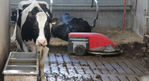 Hodowca bydła: Stres cieplny bardzo doskwiera samicom