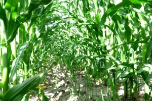 Kukurydzy brakuje wody