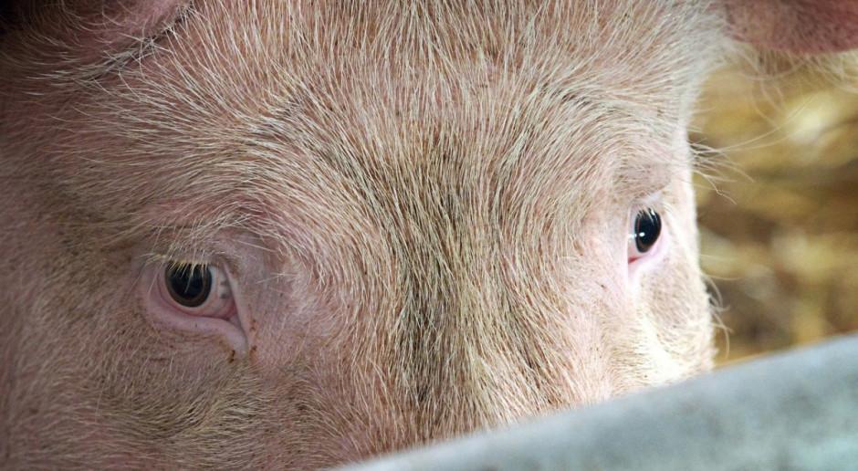 Dwa nowe ogniska ASF wśród świń – oba w województwie lubuskim