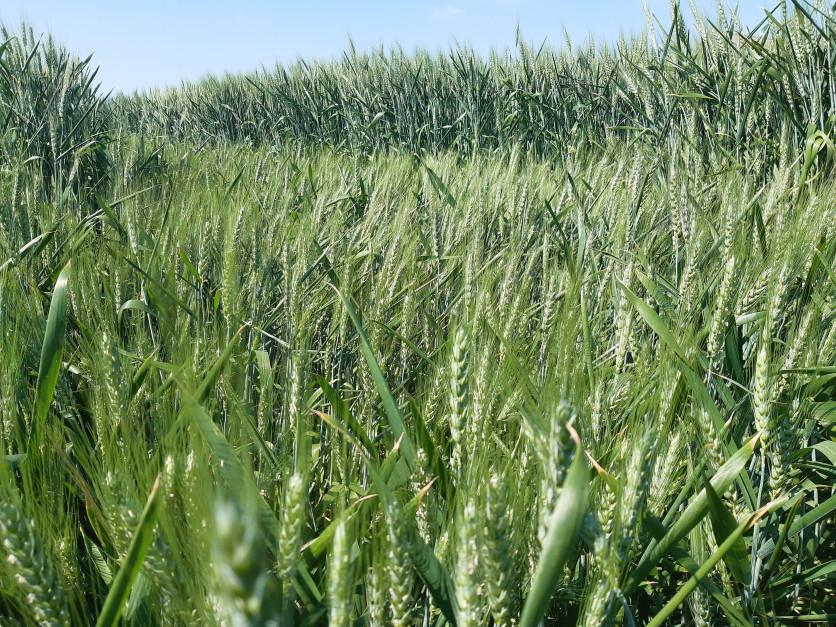 W tym roku zjawisko wylegania pojawiło się także wtedy kiedy zboża były jeszcze zielone Fot. A. Kobus