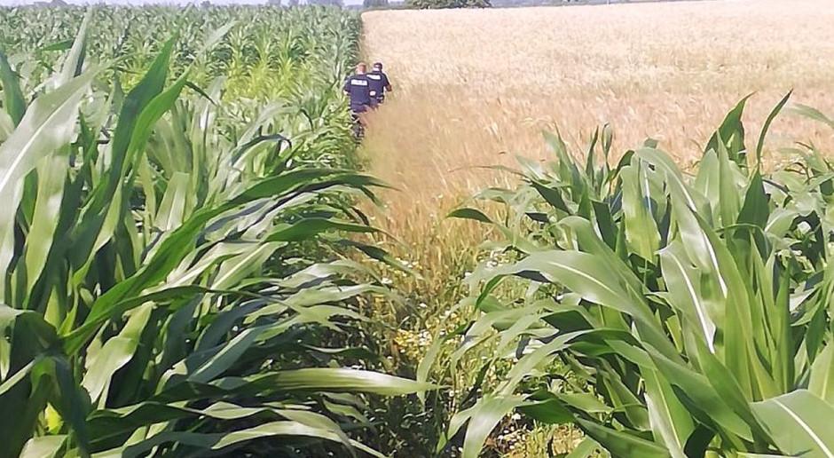 Nagi złodziej w polu kukurydzy