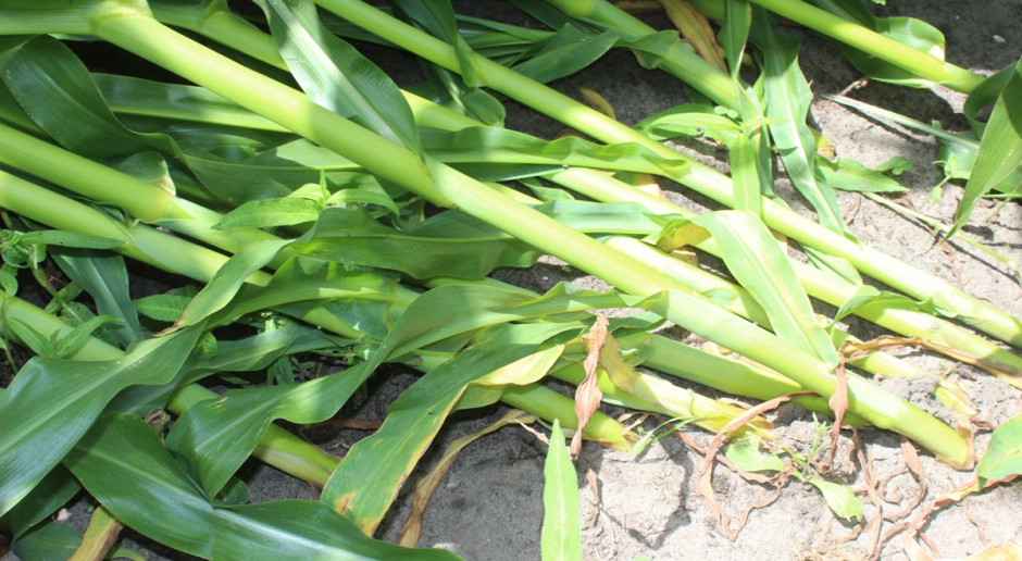 Kukurydza wyległa po nawałnicach – czy się podniesie?