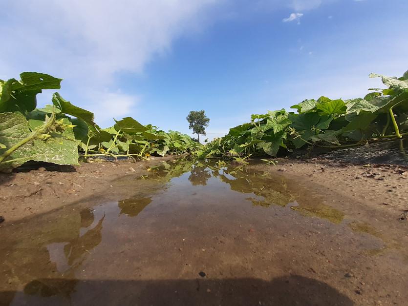 W uprawach sianych w szerokich rzędach woda zbiera się wyjątkowo szybko Fot. A. Kobus
