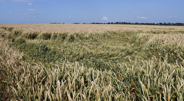 Pszenica położona przez wiatr i ulewy, występują pierwsze objawy chorób grzybowych