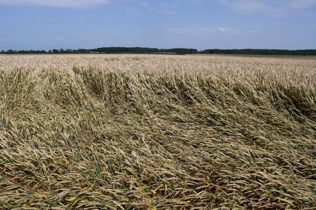 Na wyleganie plantacji pszenicy złożyło się wiele czynników, m.in. nieudany zabieg T1, fot. HJ