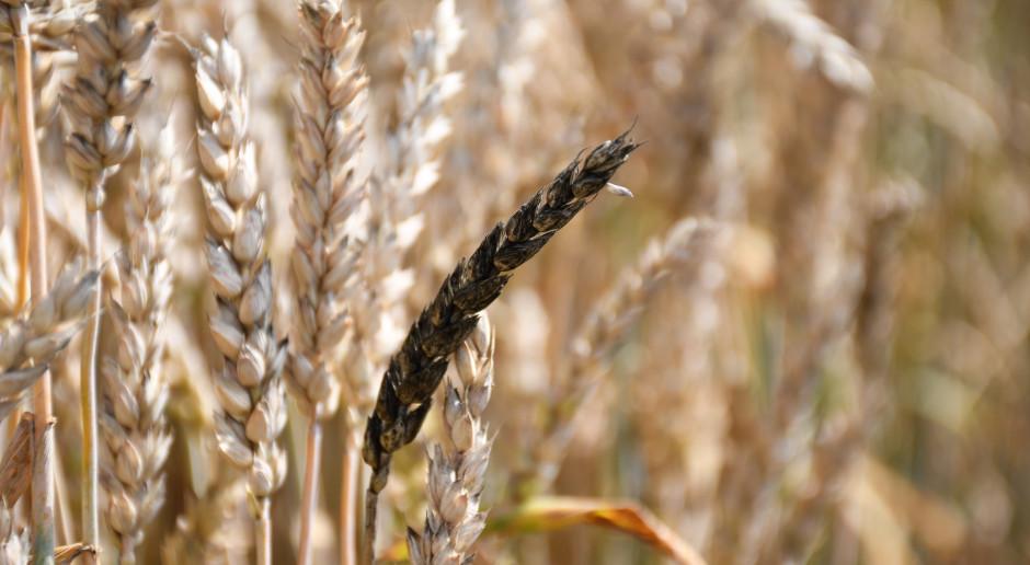 Czerń zbóż występuje na plantacji sporadycznie, fot. HJ