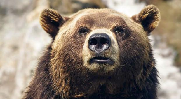 Bieszczady: Wójt Czarnej ostrzega przed niedźwiedziem w Olchowcu