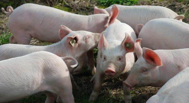 Niemcy: ASF po raz pierwszy u świń domowych