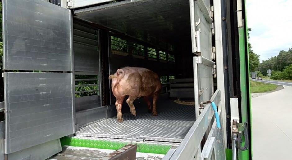 Ciężarówka wioząca świnie wypadła z drogi