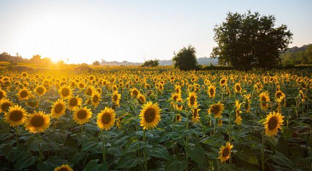 Ukraina: Produkcja oleju słonecznikowego w sezonie 2020/2021  niższa niż rok wcześniej