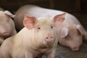 Zboina: Branża trzody chlewnej jest najbardziej pokrzywdzoną w rolnictwie