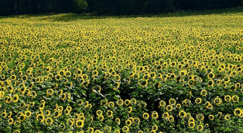 Rosja: Obniżono prognozę zbiorów słonecznika