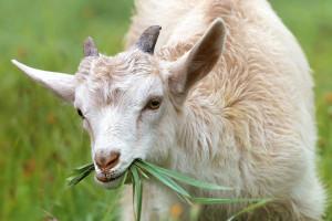 Giżyński: Ochroną genetyczną objętych jest 87 ras zwierząt