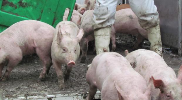 Nielegalny obrót zwierzętami i niezakolczykowane świnie - to również ryzyko ASF