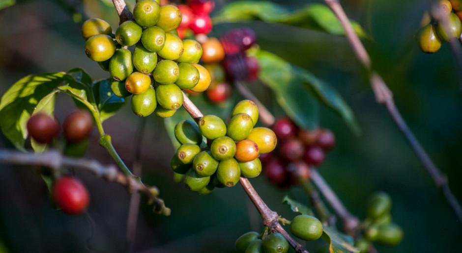 Uprawa i produkcja kawy na plantacjach. Czy da się uprawiać kawę w domu?