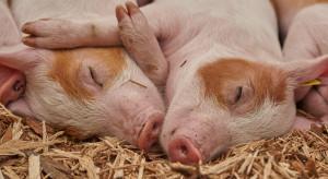 """Jest """"Program wsparcia gospodarstw utrzymujących świnie"""