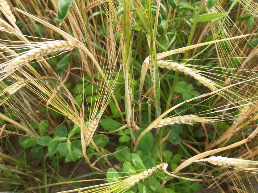 Za EFA uznawane mogą być także wsiewki traw lub roślin bobowatych drobnonasiennych w uprawę główną Fot. A. Kobus