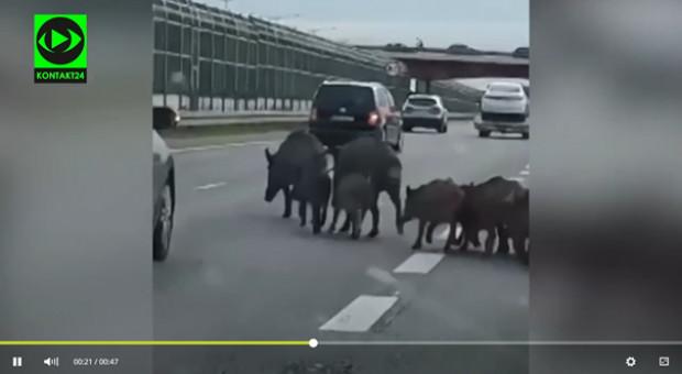 Rodzina dzików na trasie S8 w Warszawie