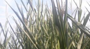 Kukurydza zwija liście - w jednych regionach susza, w innych deszcze nawalne