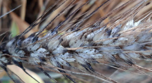 Czerń zbóż, fuzarioza kłosów i porastanie – czy wpłyną na jakość ziarna?