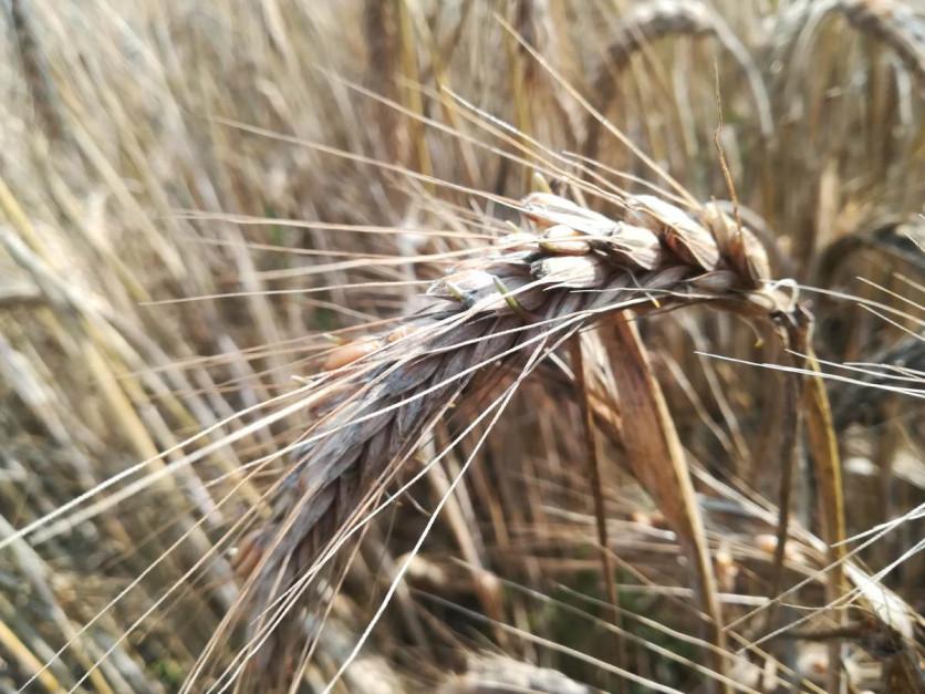 Na porastanie ziarna szczególnie narażone jest pszenżyto. Zdjęcie wykonano kilka sezonów temu. Fot. A. Kobus