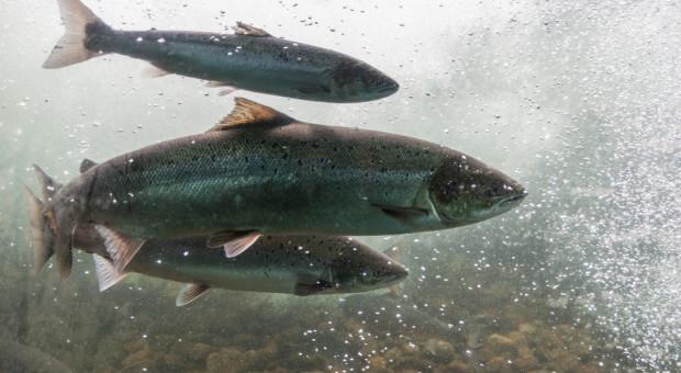 W Kalifornii giną setki tysięcy łososi – rybacy biją na alarm