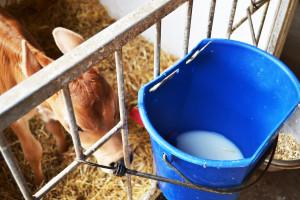 Preparat mlekozastępczy po wymieszaniu nie powinien zawierać grudek