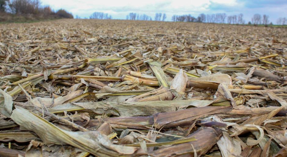 Jaka jest wartość nawozowa słomy kukurydzianej?
