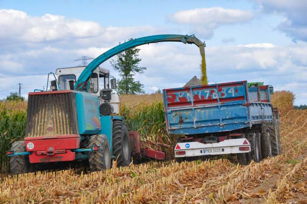 Czy warto ciąć  wyżej kukurydzę kiszonkową?
