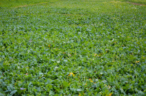 Zaletą plantacji wysianych rzutowo jest równomierne rozmieszczenie roślin na całej powierzchni gleby