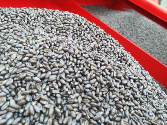 Zaprawianie ziarna zbóż to konieczność