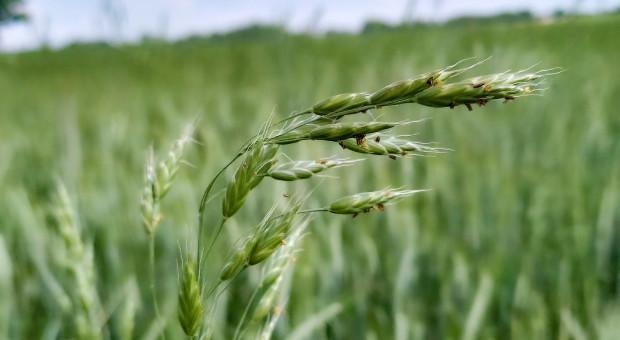 Stokłosy coraz częstszym problemem upraw zbożowych