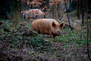 Dzikie świnie produkują w ciągu roku tyle dwutlenku węgla, co ponad milion samochodów