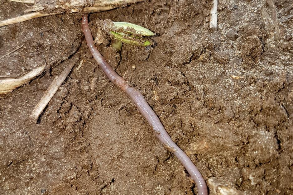 Obecność resztek roślinnych na powierzchni pola pozytywnie wpływa na liczebność mikroorganizmów oraz fauny glebowej, m.in. dżdżownic, którym pozostawienie mulczu zapewnia pokarm oraz schronienie
