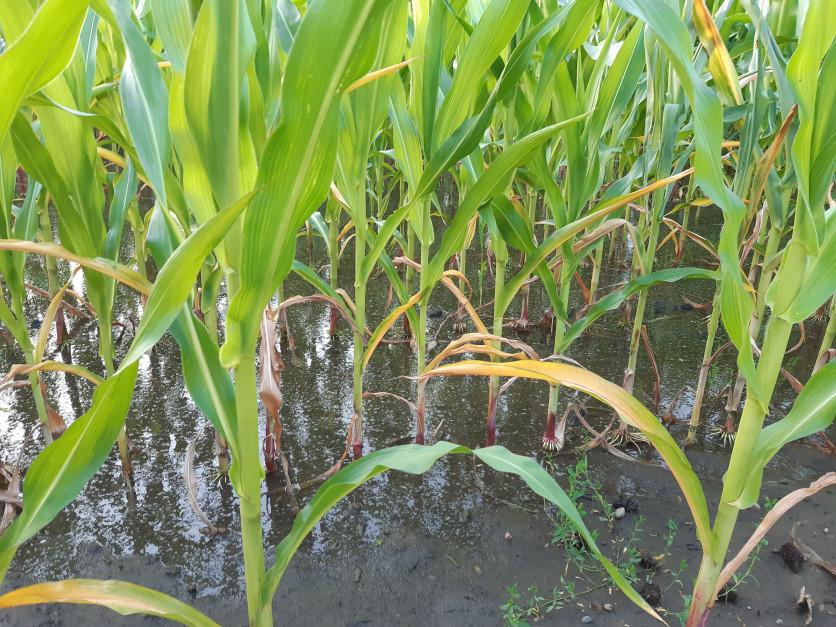 Stagnująca woda na plantacji kukurydzy Fot. A. Kobus