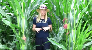 Stan kukurydzy - opady w czasie wiechowania wróżą dobre zaziarnienie kolb