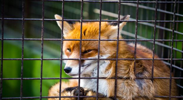 Wielkopolskie: akt oskarżenia ws. fermy lisów pod Krotoszynem