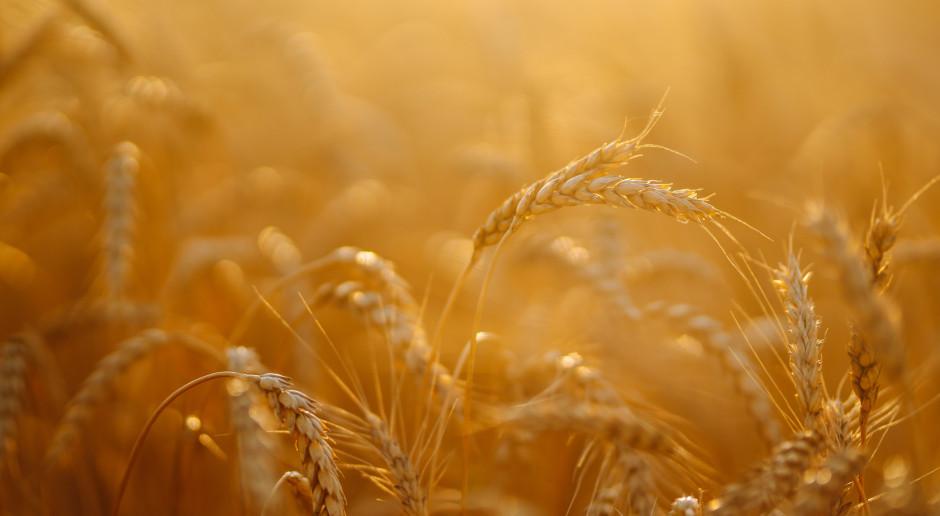 Większość zbóż na światowych giełdach nieznacznie potaniała