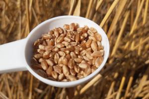 Drobne ziarno. Plony zbóż jednak rozczarowują?