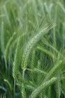 Whodowli pszenżyta ozimego nasz kraj ma osiągnięcia na skalę światową