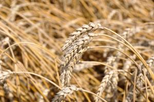 Rodzime odmiany pszenicy ozimej nie odbiegają plennością ani innymi cechami przydatności rolniczej od importowanych