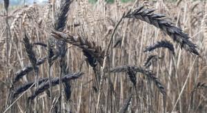 Kłosy zbóż czernieją, coraz większe ryzyko porastania ziarna
