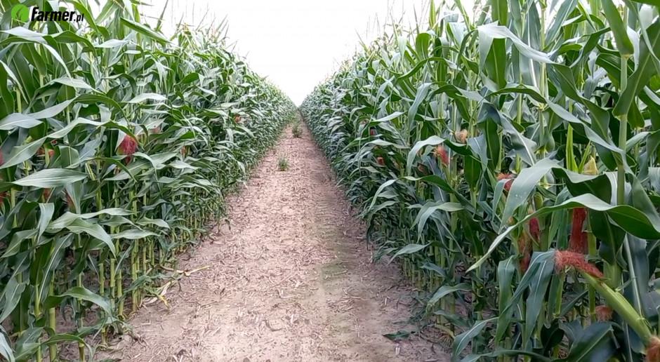 Ścieżki przejazdowe w kukurydzy?