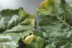Żółknięcie końcówek liści buraka – co jest tego przyczyną?
