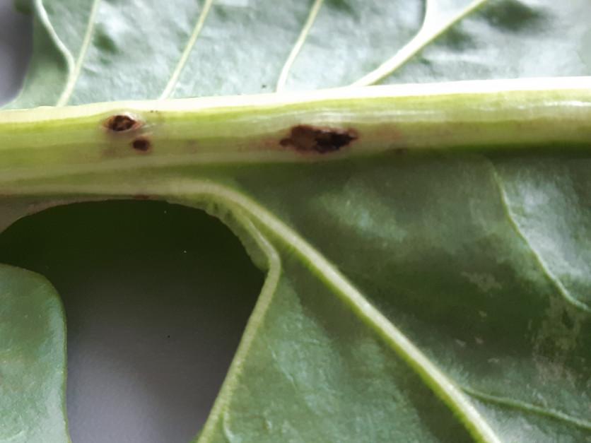 Uszkodzenia nerwu głównego liścia Fot. A. Kobus