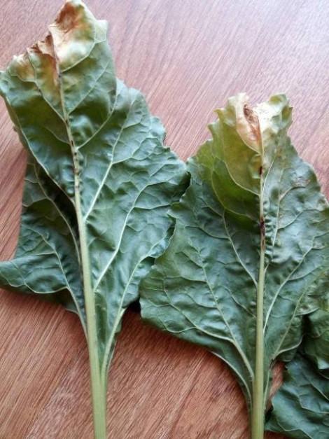 Im bardziej uszkodzony nerw, tym większa powierzchnia liścia żółknie i zasycha Fot. A. Kobus