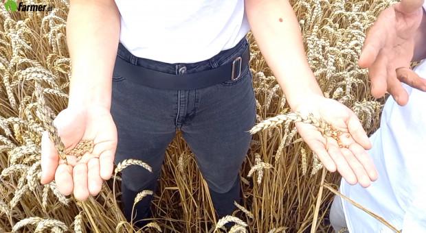 Na Warmii pszenica ozima gotowa do zbioru